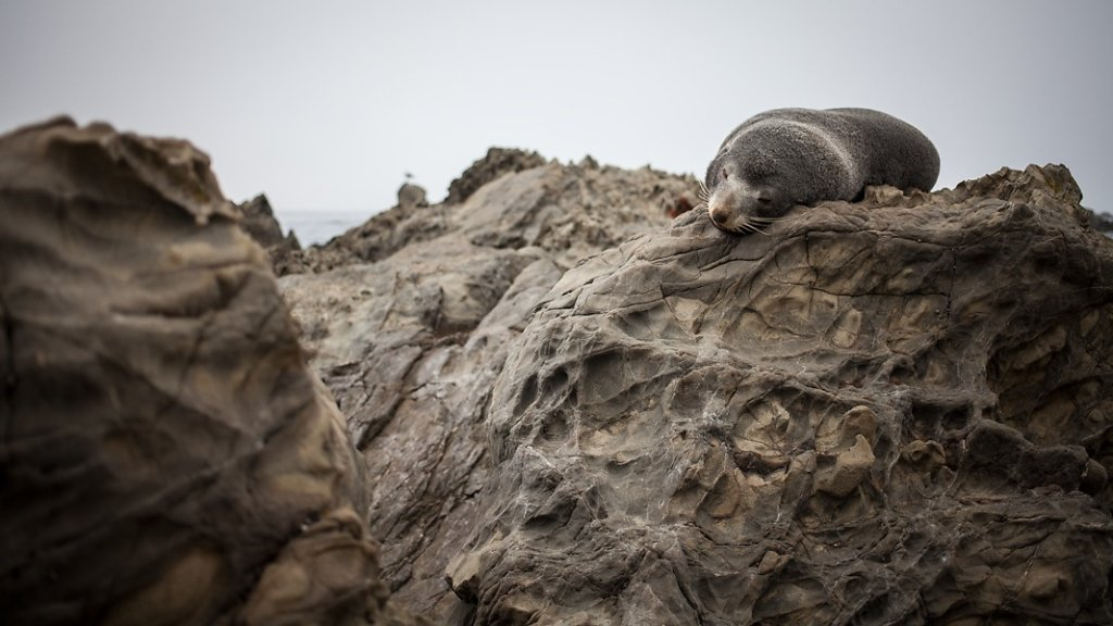 Seal on the East Cost near Kaikoura